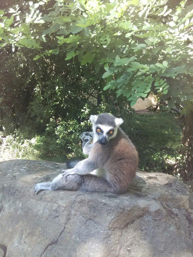 Lemur #zooplzen