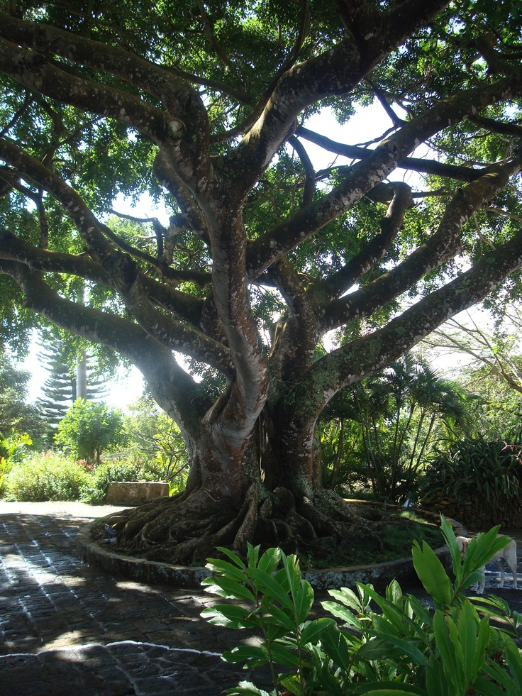 Giant Fig tree at Montpelier, Nevis