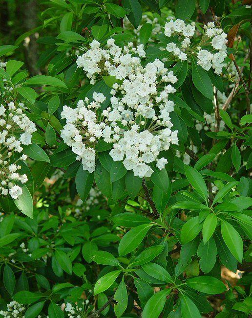 Kalmia latifolia - Mountain-Laurel