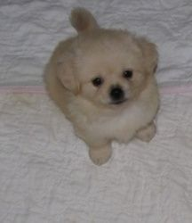 Bradley is an adoptable Pekingese Dog in Larchmont, NY. Bradley is an adorable tiny 3 lb. 8 week old Peka-poo (Pekingese & Poodle). Bentley is his sibling. He looks like a little snowball - too cute...