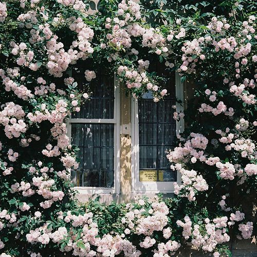 Glamorous: Pink Flower, Gardens Design Idea, Pink Roses, Roses Flower, Climbing Roses, English Country Gardens, House, Bedrooms Windows, Dinners Idea