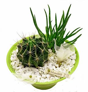 http://holmsundsblommor.blogspot.se/2009/07/taggigt-och-tjocksmalt.html Aloe bakeri, cactus