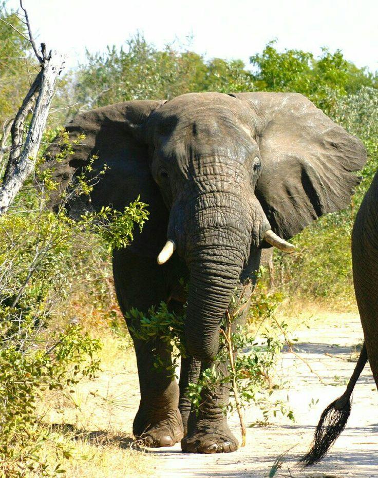 Afrikaanse olifant, Ghana.