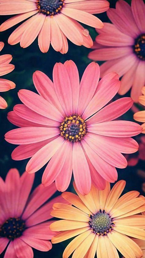 Excelente Fotos Flores Fondos De Horizontal Pensamientos Flores Wallpaper Horizonta Flower Background Wallpaper Flower Background Iphone Flower Backgrounds