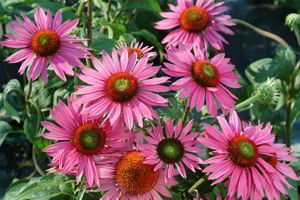 Echinacea (Cone Flower) Most plants in the Echinacea family grow about 2-4' tall and about 2' wide. The most common Echinacea, Purple Coneflower, grows in zones 3 to 8 and prefers full sun and moderate to regular water. They are very hardy and withstand heat, drought, and wind.