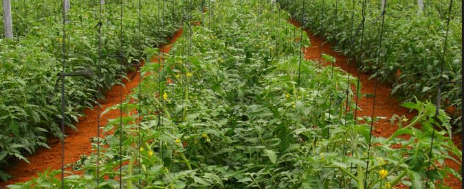 ZZ2, the largest producer of tomatoes in the Southern Hemisphere