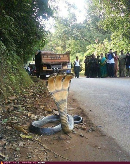 Is anyone else kind of scared seeing this 3-Headed cobra?: Animals, Nature, Stuff, Headed Cobra, Wtf, Photo, Snakes