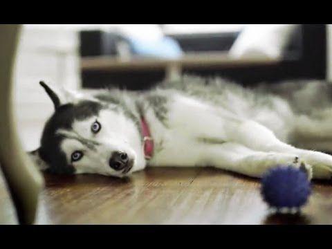 Mishka, the talking Husky's, commercial.