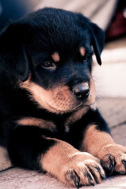 Price range for a Rottweiler Puppy