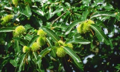 """The chestnut tree, also called """"artodendro""""  blooms in the spring and the chestnuts ripen from early September to late November, depending on the conditions and variety making chestnuts one of the typical fruits of winter. In the Macedonian Province of northern Greece, the chestnut growers are cultivating the chestnut fertile villages """"Kastanochoria"""" of the Paiko Mountain region."""