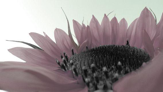 Zonnebloem roze