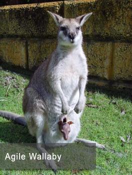 Kangaroos at Caversham Wildlife park in Perth, Australia