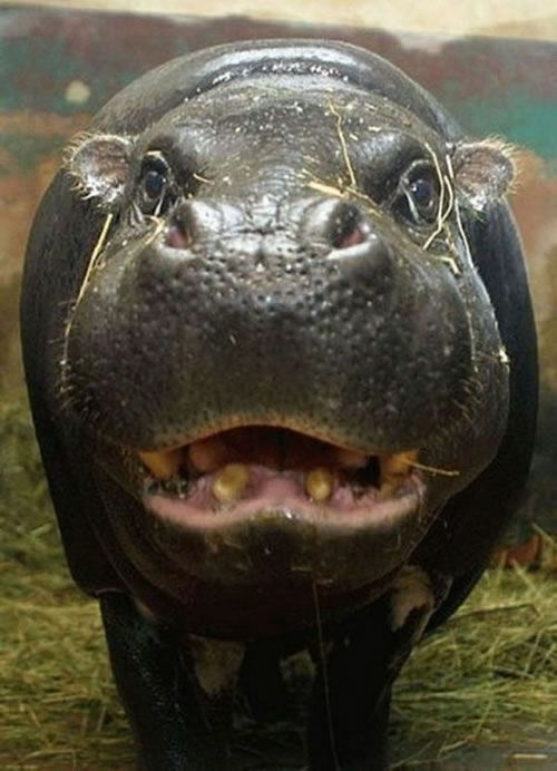 The Red Sweat of Hippos by Yoko Saikawa et al.: Within a few minutes of perspiration, the colourless, viscous sweat of the hippopotamus gradually turns red, and then brown as the pigment polymerizes and may act as both an antibiotic and sunscreen. #Hippo #Sweat #Yoko_Saikawa