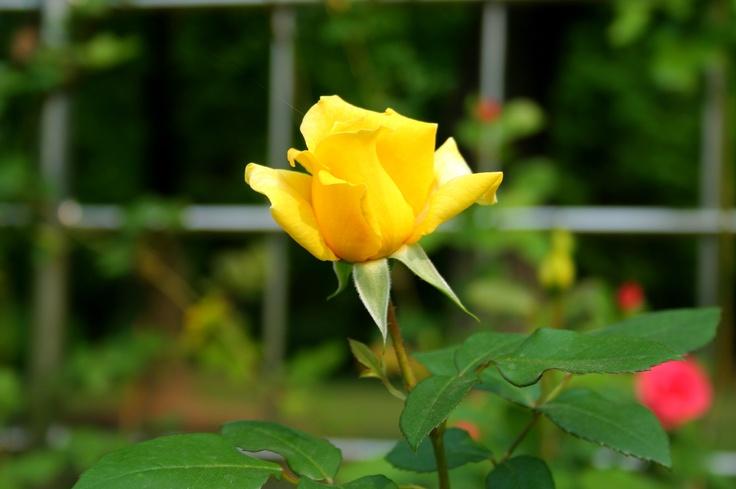 예쁜 노란 장미