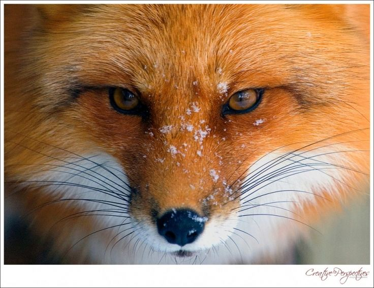 red fox face and - photo #16