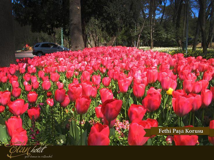 Lale festivali kapsamında Fethipaşa Korusu'na 21 farklı türde 200 bin lale dikildi :) #elanhotelistanbul #istanbul #tulip #lale #fethipasa #Turkey #Turkiye