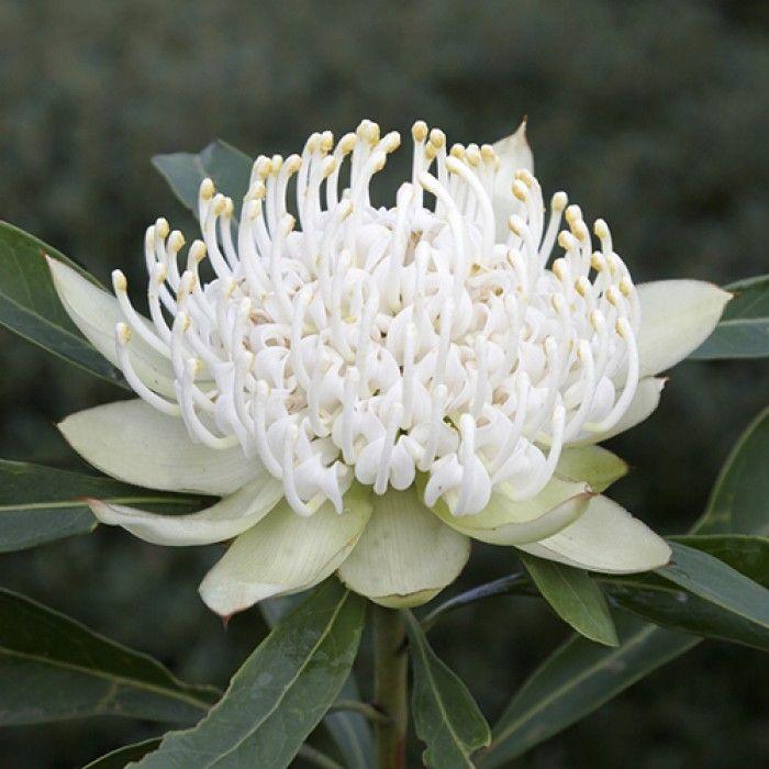 cc Telopea White Shady Lady, White Waratah, Aust. native