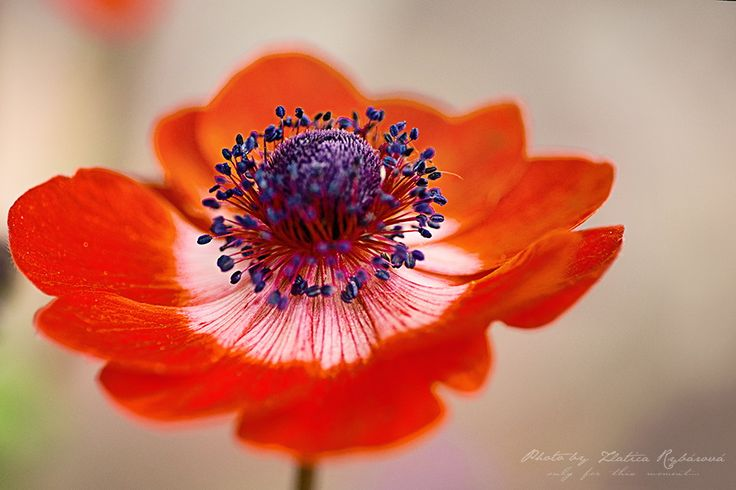 red anemone by Zlatica Rybárová on 500px