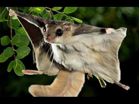 Flying squirrel - squirrel gliders, Type of cute animals video