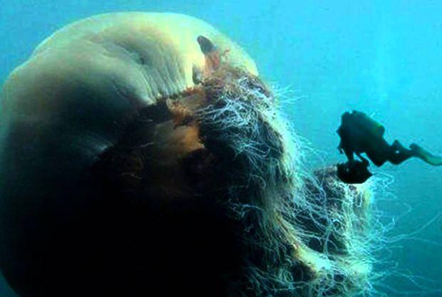 lion's mane jellyfish 4