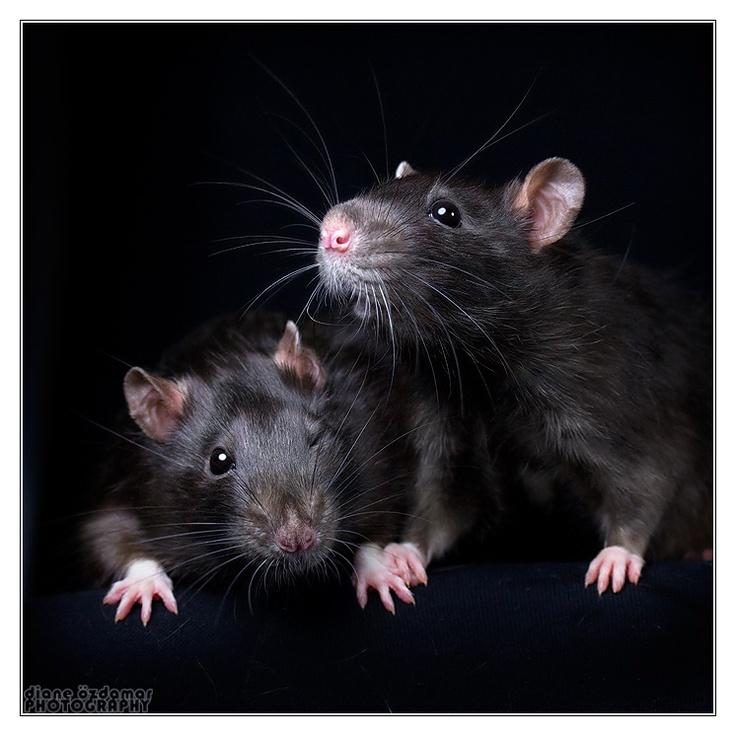 Love rats and not ashamed to say it! Cute rats, Pet rats