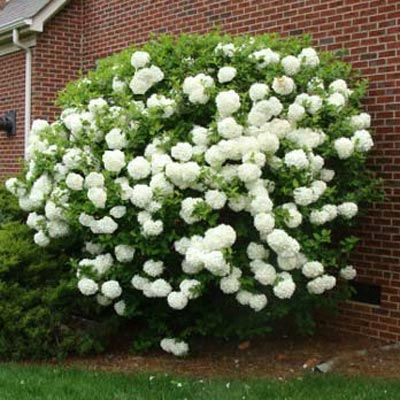 <p>Giant, Vibrant Blooms Will Stop Traffic</p>   Snowball Viburnum