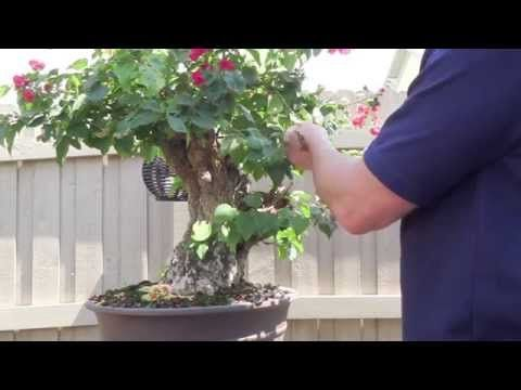 "Bougainvillea -Restyling the Tree  (it can be brought back to life)  My Boogi is 10 years old in 2015--- repot every 3 years Cutting back root structure by 1/3 & removing as much old soil as possible.  I put ""fresh"" spaghnam moss(from the woods) mixed with vermicilite, and a teaspoon of fertilizer applied in the mix(5-5-5), & a few teasp. dolimite lime to repot.  I also chop up moss & put on the top to help keep moisture in."