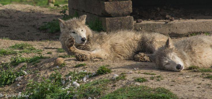 De witte wolven aan het zonnen #hoenderdaell #fotografie
