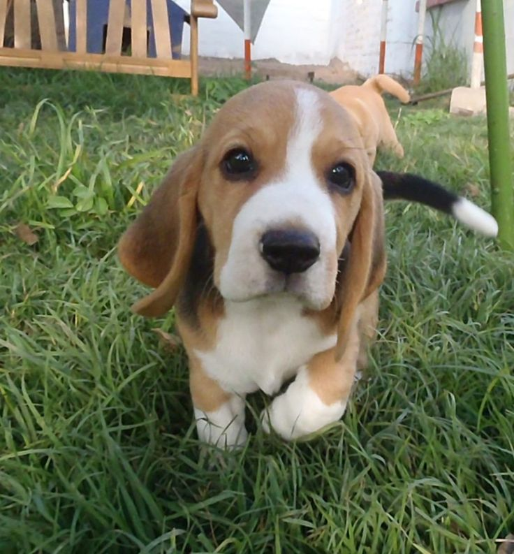 Beagle - I would hug you and squeeze you and call you Snoopy.