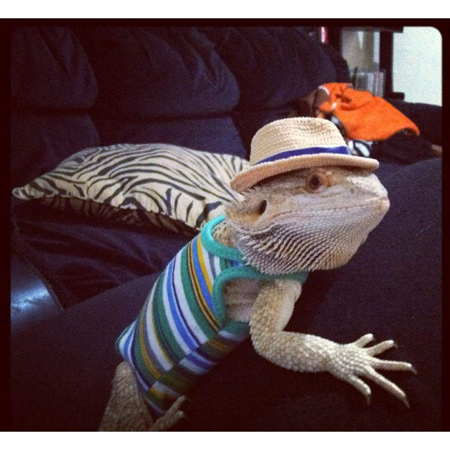 Bearded Dragon- that is too freakin cute and funny!  Oh Nessie is going to hate me when she's bigger :D