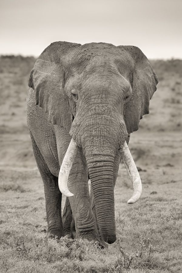 Large Bull Elephant (Loxodonta Africana) in Hapoor Dam in Addo Elephant National Park in South Africa.