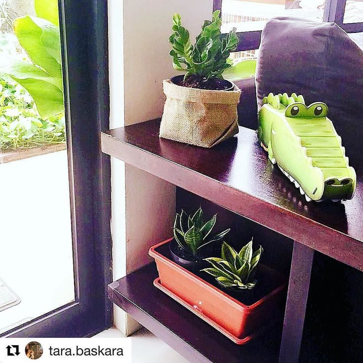 4 sahabat nangkring di dekat jendela.  . . #Repost @tara.baskara  Ini lah si hejo-hejo pertama yang naik pangkat masuk ke dalam rumah  Tap for details  . . #tanaman #plants #indoorplants #airpurifier #kadaka #kadakalasagna #sanseviera #lidahmertua #potkarunggoni #tanamanbikinhepi #plantsmakespeoplehappy #jakarta #indonesia