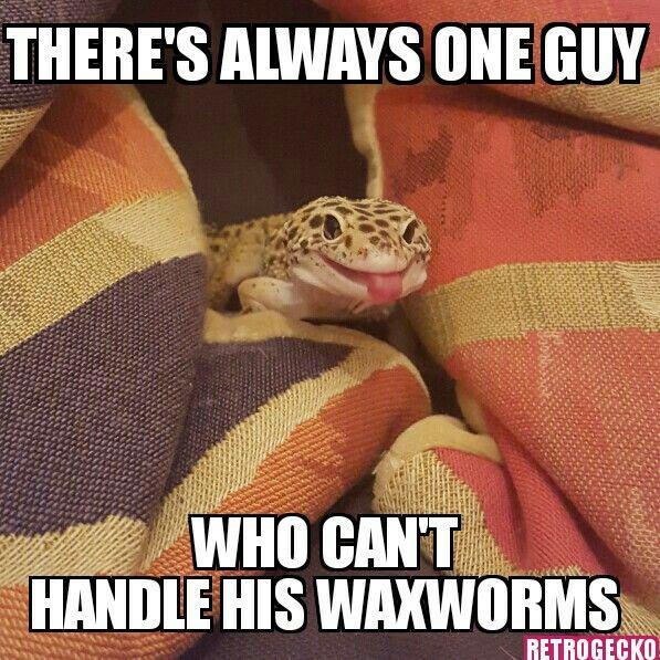 17 Best Images About Leopard Geckos On Pinterest