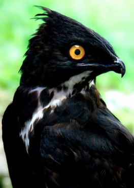 The Bat Hawk (Macheiramphus alcinus) is a raptor found in sub-Saharan Africa and south Asia to New Guinea. It is named for its diet, which consists mainly of bats.