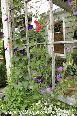 Chicken wire and window frame as a trellis...