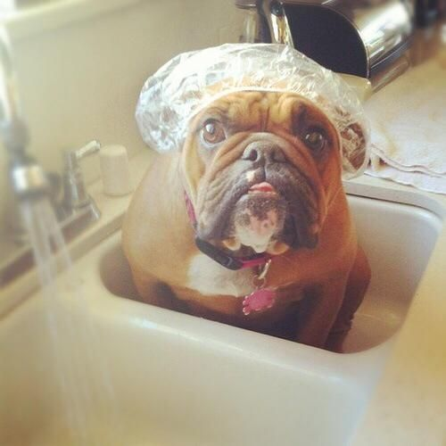 """❤ """"Privacy. Have you ever heard of it?? Google it on your way OUT!"""" OMG that look is priceless !!! ❤ Posted on English Bulldog News on Facebook"""