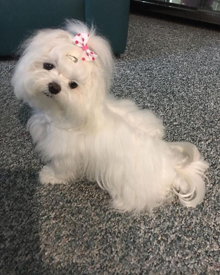 Such a pretty girl. Toda la información sobre la raza de perro maltés, alimentación, cuidados, educación y productos especializados