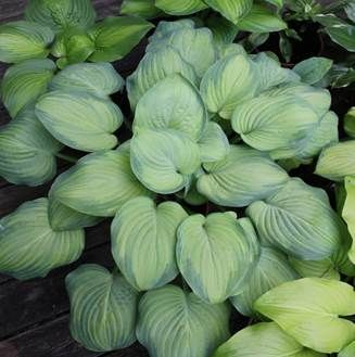 "'Ambrosia' is ""the food of the gods"" and this hosta is certainly good enough to eat. It is simply divine. It is a blue-margined, light yellow-centered sport of my own 'Guacamole' that performs just as well in the garden, making a large clump that enjoys bright light. Like ambrosia it is fragrant and may also have the same mythological healing powers. We intend to patent this one."