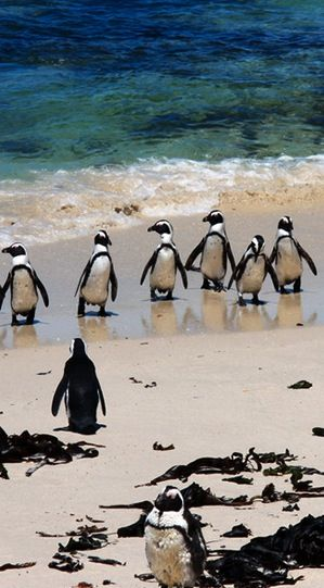 The African penguin (Spheniscus demersus) also known as the jackass penguin and black-footed penguin is a species of penguin, confined to southern African waters.