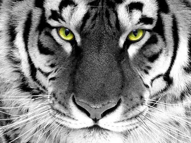 Zwart witte tijger met groene ogen | Bureaublad Achtergronden
