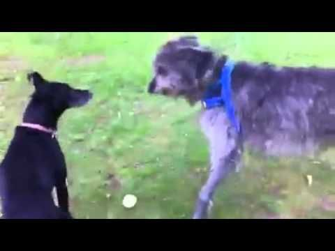 Irish Wolfhound Playing in the Play Yard Melbourne Dog