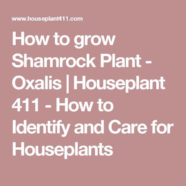 how to grow shamrocks indoors