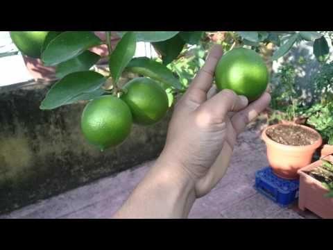 Cuidados Generales de Cítricos: Árbol de Naranja, Mandarina, Limon - YouTube