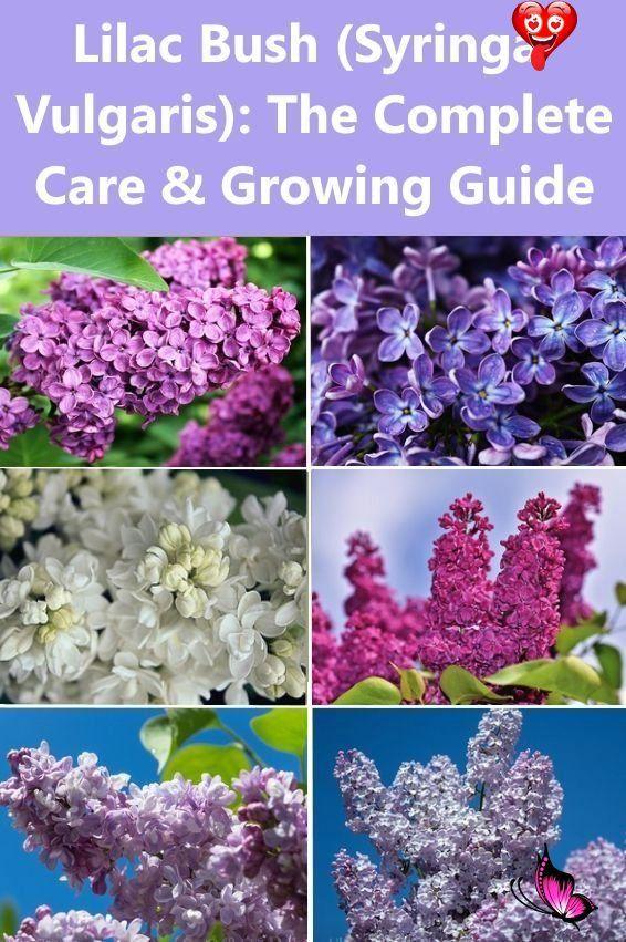 Pin On Lilac Tree