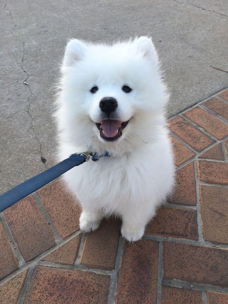 Cute Little Sammy Samoyed Puppy Dog