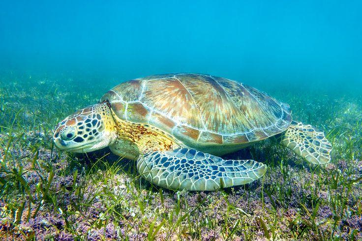 Sea Turtles at Akumal Bay