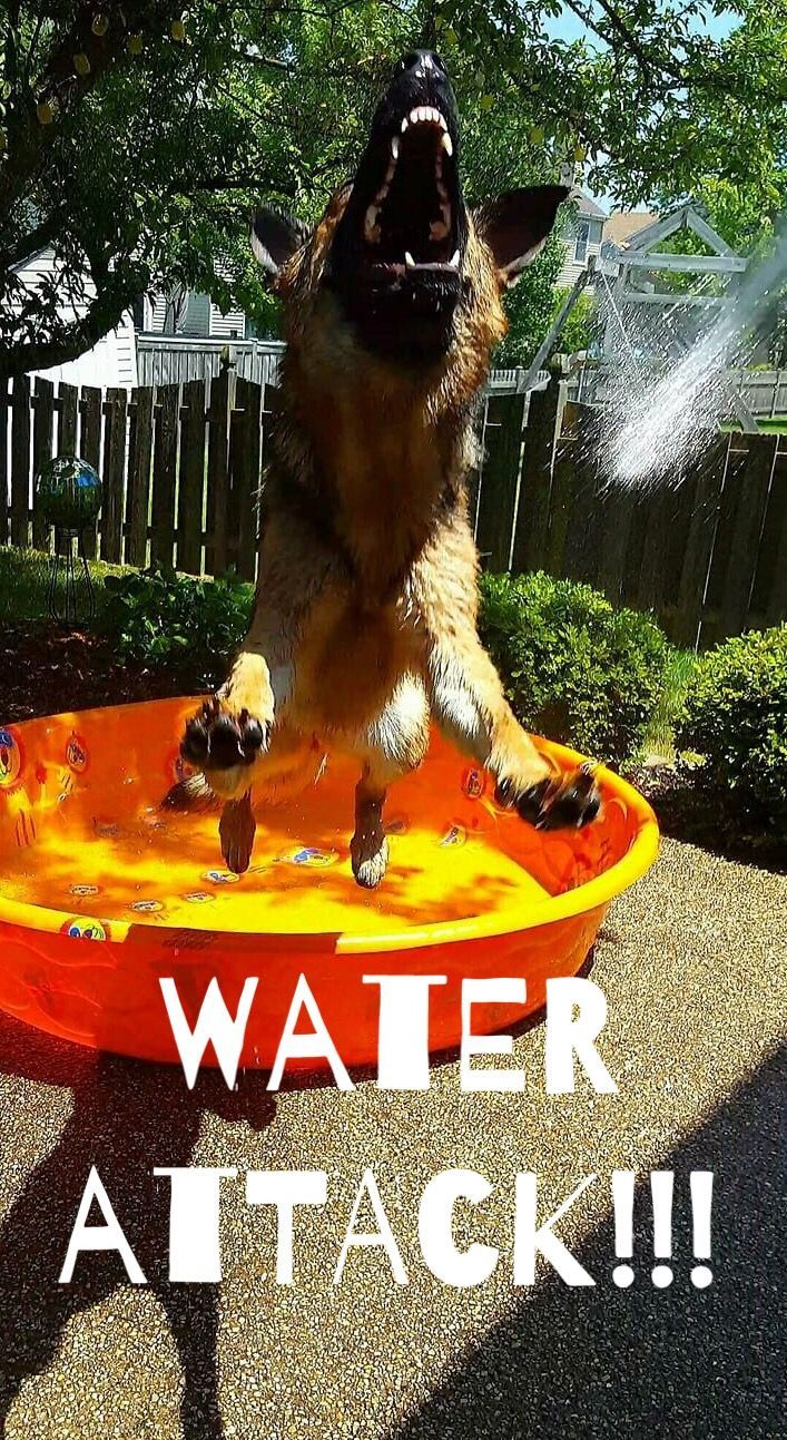 This German Shepherd loves water.