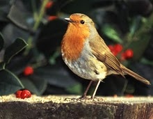 English robin - one of the most interesting critters you'll ever meet