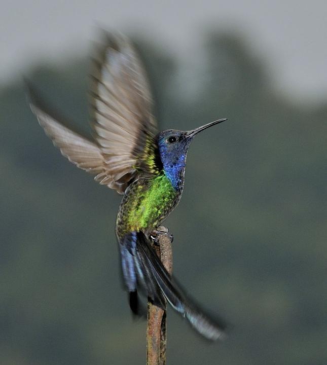 Swallow-tailed Hummingbird (Campylopterus macrourus)