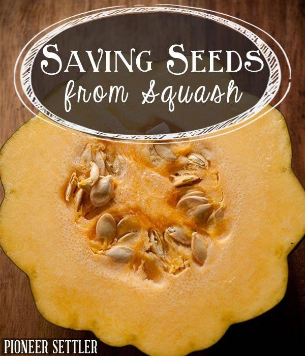vegetable seeds, how to save seeds, seed saving, seed storage, growing acorn squash, saving squash seeds, how to save squash seeds, how to save pumpkin seeds, seed saver